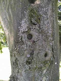 Flechten am Baum