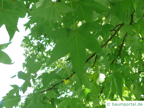 Amberbaum (Liquidambar styraciflua) Blätter