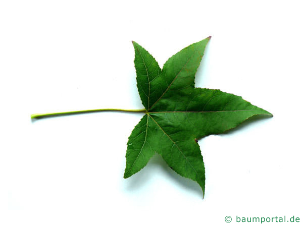 Amberbaum (Liquidambar styraciflua) Blatt