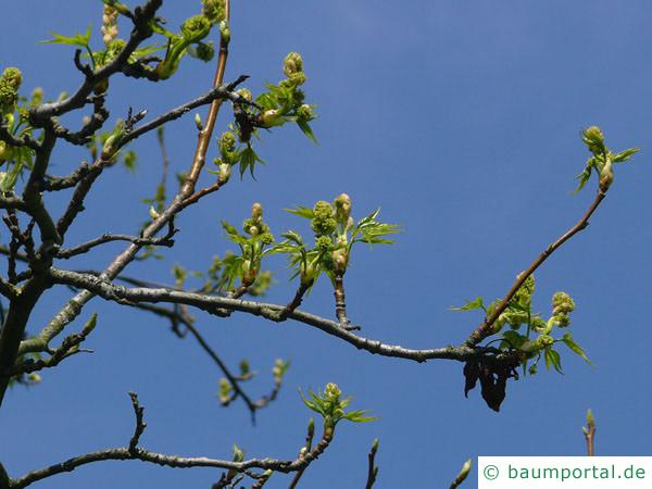Amberbaum (Liquidambar styraciflua) Blüten