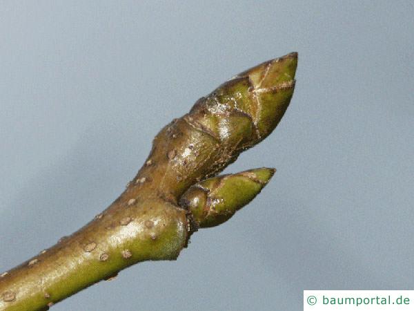 Amberbaum (Liquidambar styraciflua) Knospe