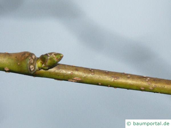 Amberbaum (Liquidambar styraciflua) Seitenknospe