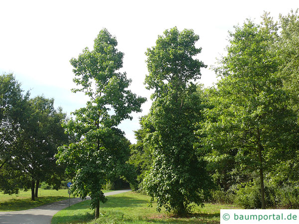 Amberbaum (Liquidambar styraciflua) Baum im Sommer