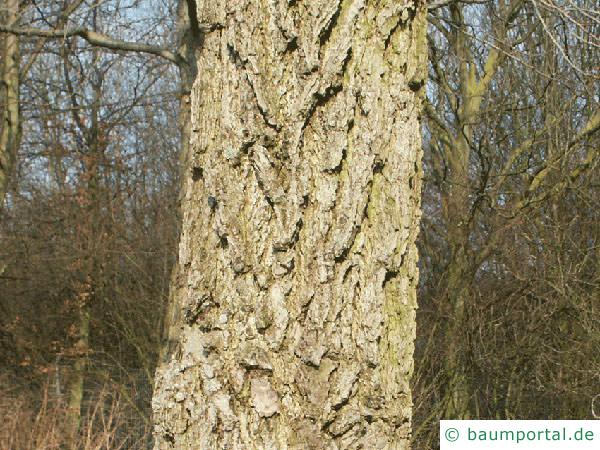 Amberbaum (Liquidambar styraciflua) Stamm