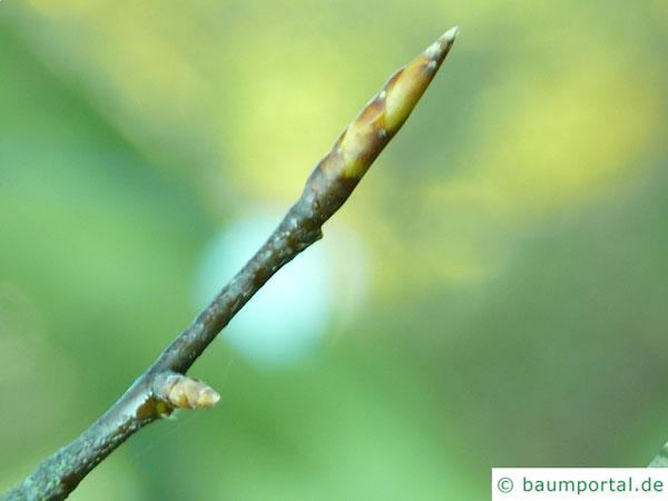amerikanische Buche (Fagus grandiflora) Endknospe