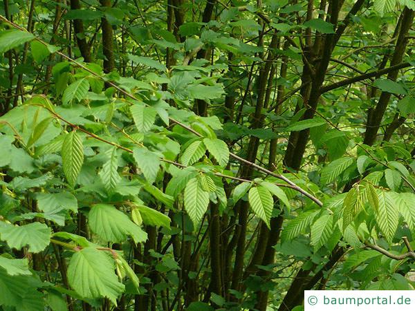 amerikanische Hainbuche (Carpinus caroliniana) Zweige und Blätter