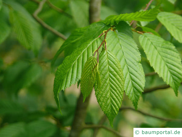 amerikanische Hainbuche (Carpinus caroliniana) Blätter