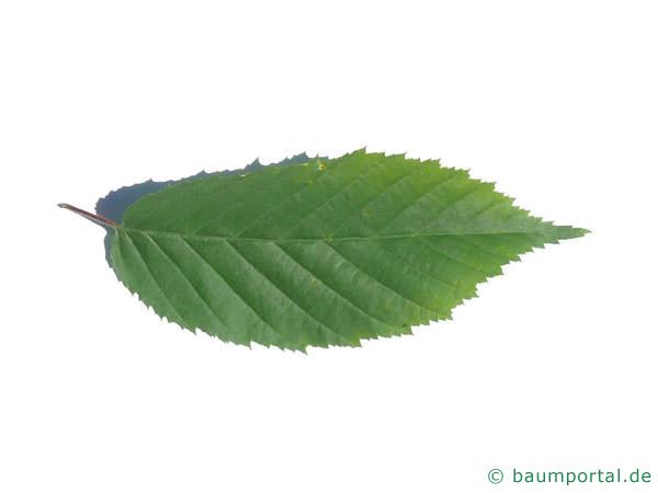 amerikanische Hainbuche (Carpinus caroliniana) Blatt