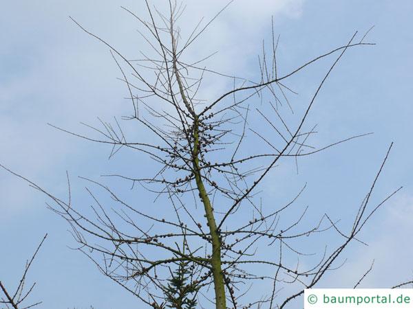 Amerikanische Lärche  Larix laricina