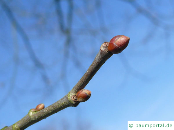 amerikanische Linde (Tilia americana) Endknospe