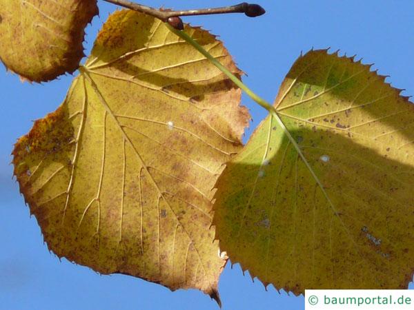 amerikanische Linde (Tilia americana) Herbstfärbung