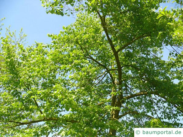 amerikanische Linde (Tilia americana) Krone im Sommer