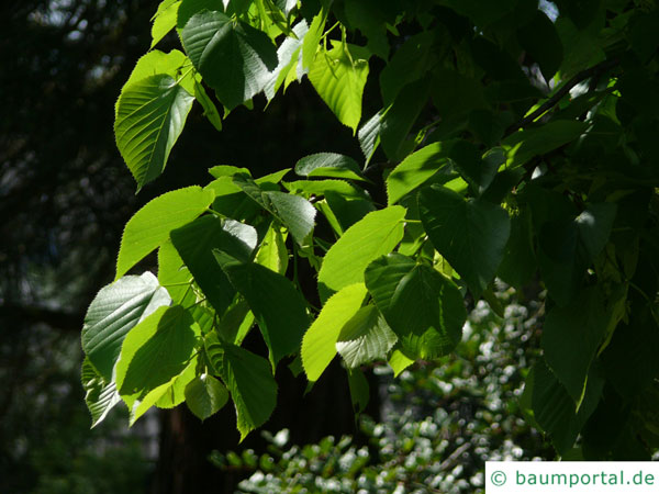 riesenblättrige Linde (Tilia americacna 'Nova') Blätter