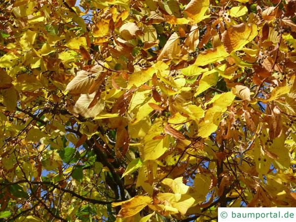 riesenblättrige Linde (Tilia americacna 'Nova') Blätter im Herbst