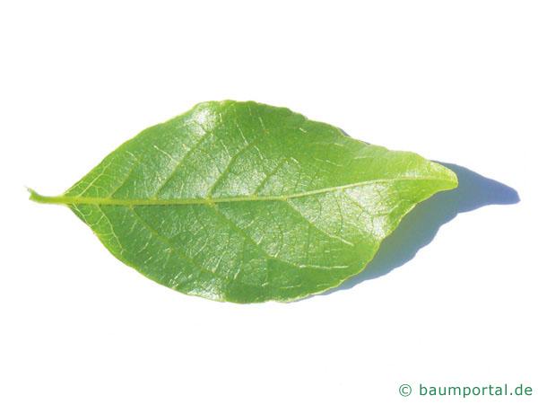 amerikanischer Storaxbaum (Styrax americanus) Blattunterseite
