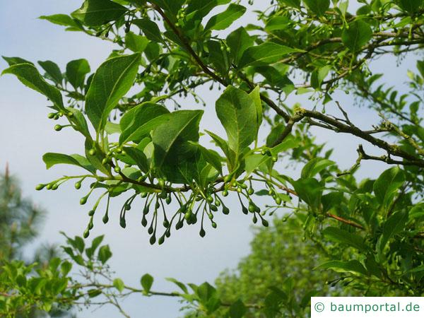 amerikanischer Storaxbaum (Styrax americanus) Früchte