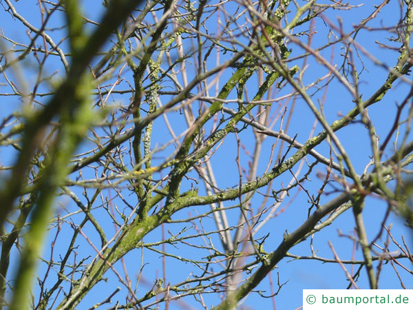 amerikanischer Storaxbaum (Styrax americanus) Krone im Winter