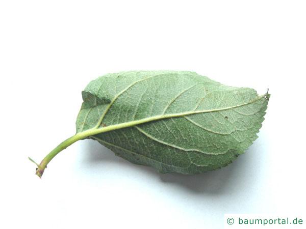 Apfelbaum (Malus hybrid) Blattrückseite