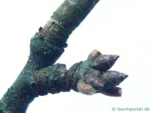 Apfel (Malus hybrid) Knospe