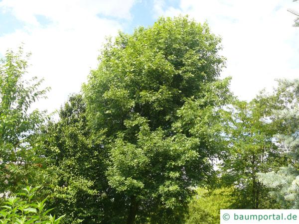 Arizona-Esche (Fraxinus velutina) Baum im Sommer