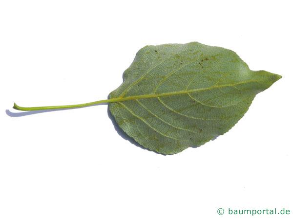 Balsam-Pappel (Populus balsamifera) Blattunterseite