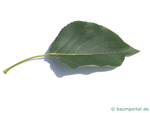 Balsam-Pappel (Populus balsamifera) Blatt