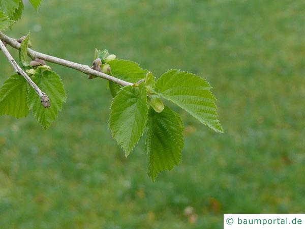 Baumhasel (Corylus colurna) Austrieb im Frühjahr