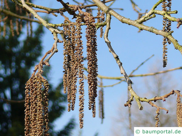Baumhasel (Corylus colurna) Blüten