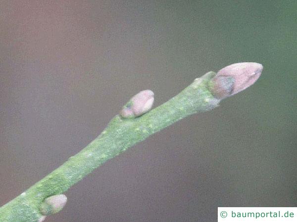 Baumhasel (Corylus colurna) Endknospe