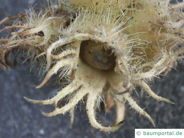 Baumhasel (Corylus colurna) Frucht / Nuss
