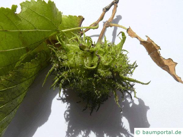 Baumhasel (Corylus colurna) Frucht im Sommer