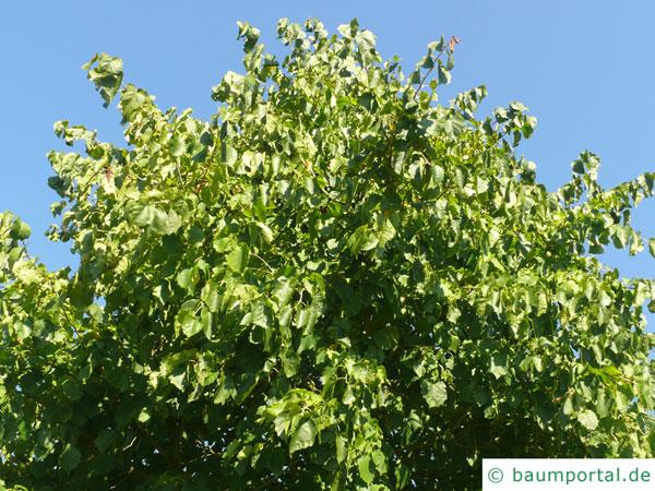 Baumhasel (Corylus colurna) Krone im Sommer