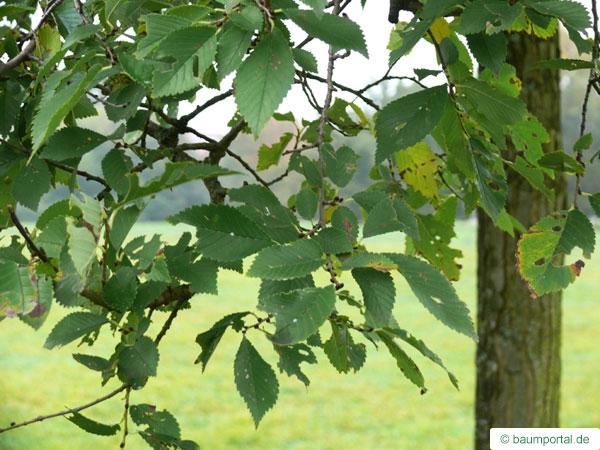 Berg-Ulme (Ulmus glabra) Blätter