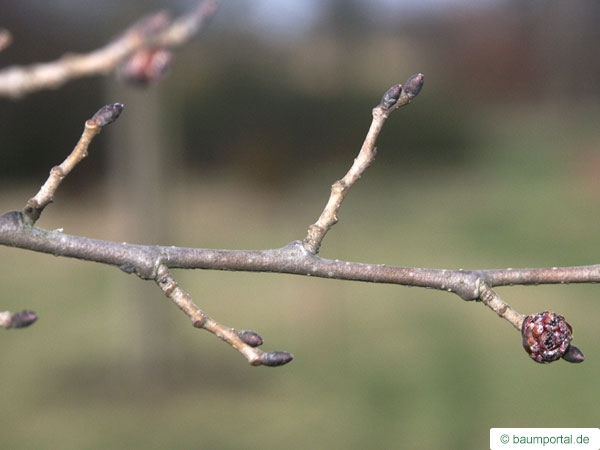 Berg-Ulme (Ulmus glabra) Zweig im Winter