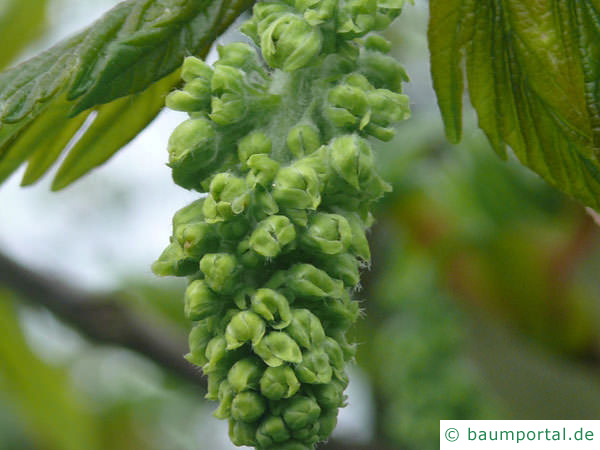 Berg-Ahorn (Acer pseudoplatanus) Nahaufnahme Blüte