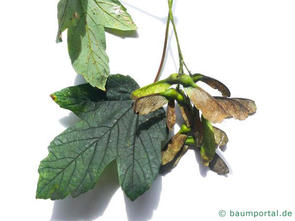 Berg-Ahorn (Acer pseudoplatanus) Frucht geflügelte Nüsschen