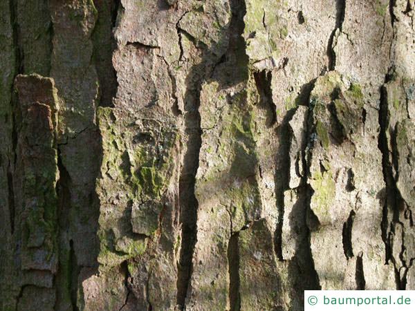 Berg-Ahorn (Acer pseudoplatanus) Stamm / Borke / Rinde