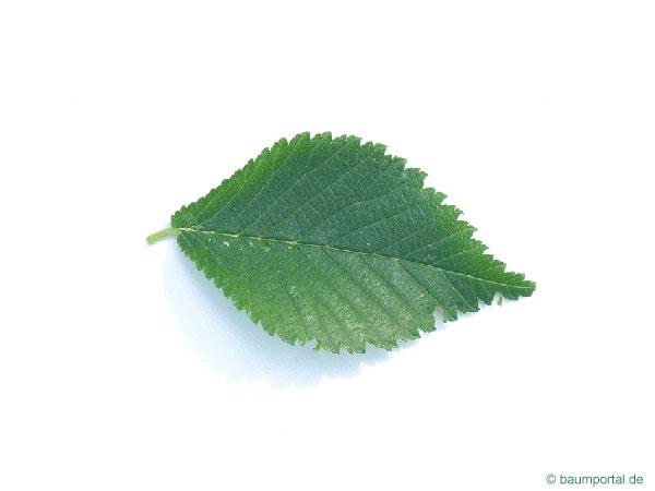 Berg-Ulme (Ulmus glabra) Blatt