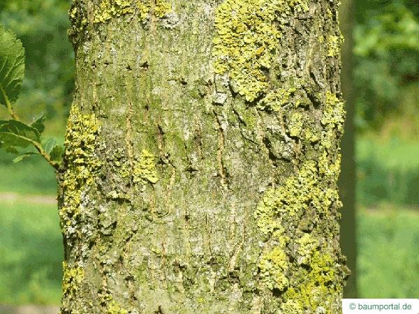 Berg-Ulme (Ulmus glabra) Stamm / Borke / Rinde