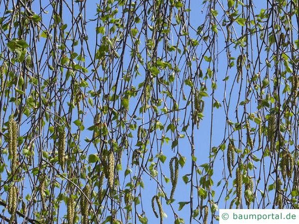 Birke (Betula pendula) Austrieb im Frühjahr