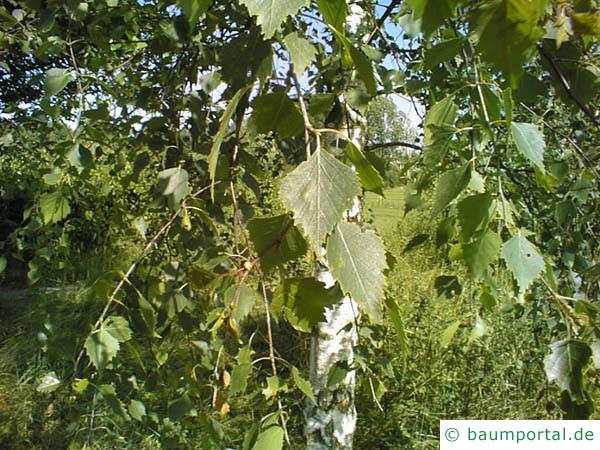 Birke (Betula pendula) Blätter im Sommer
