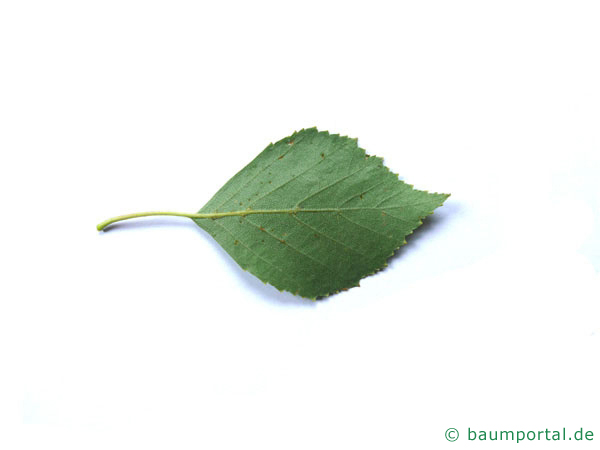 Birke (Betula pendula) Blattrückseite