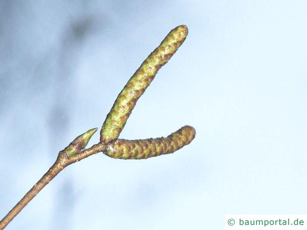 Birke (Betula pendula) Blütenknospen