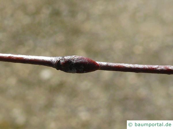 Birke (Betula pendula) Seitenknospen