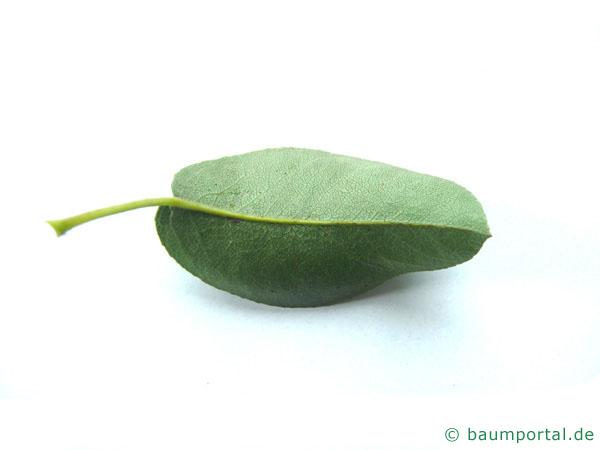 Birne (Pyrus communis) Blatt Rückseite