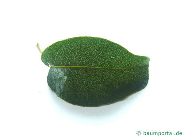 Birne (Pyrus communis) Blatt