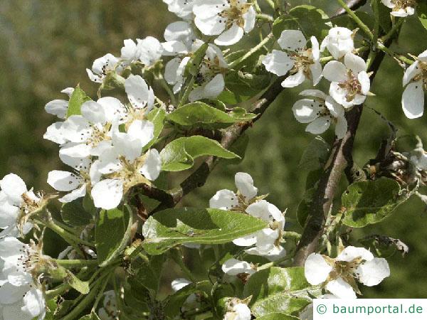 Birne (Pyrus communis) Blüte der Birne