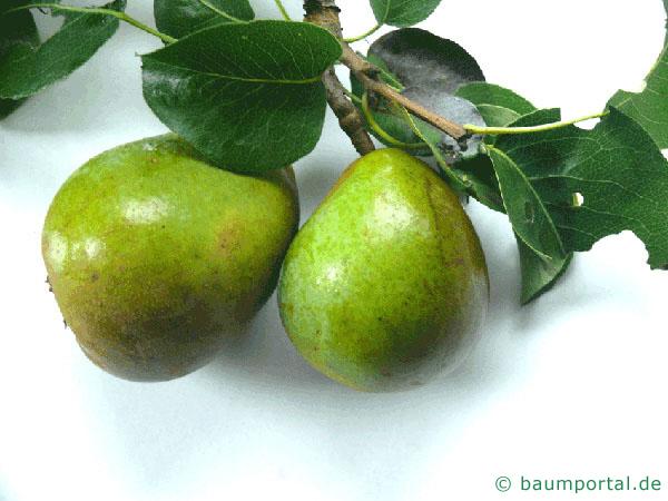 Birne (Pyrus communis) Frucht / Birne