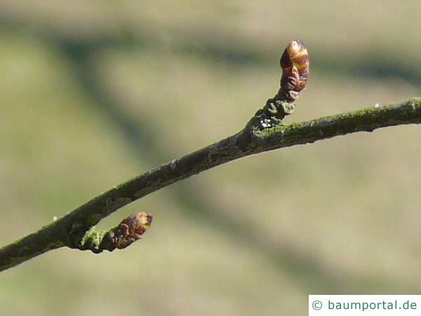 Blau-Birke (Betula caerulea) Seitenknospe