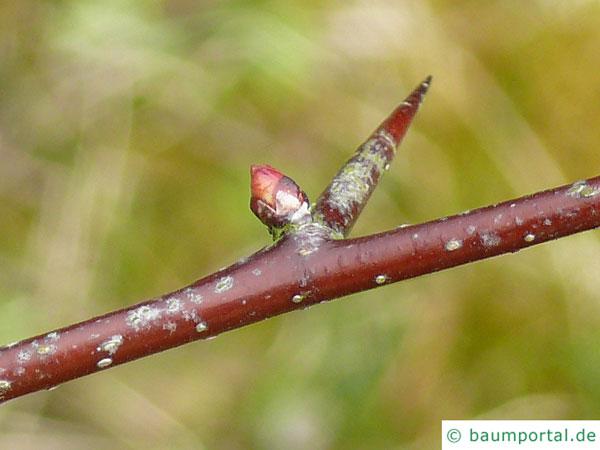Blut-Weißdorn (Crataegus sanguinea) Zweig mit Dornen im Winter